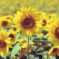 追逐太阳的向日葵